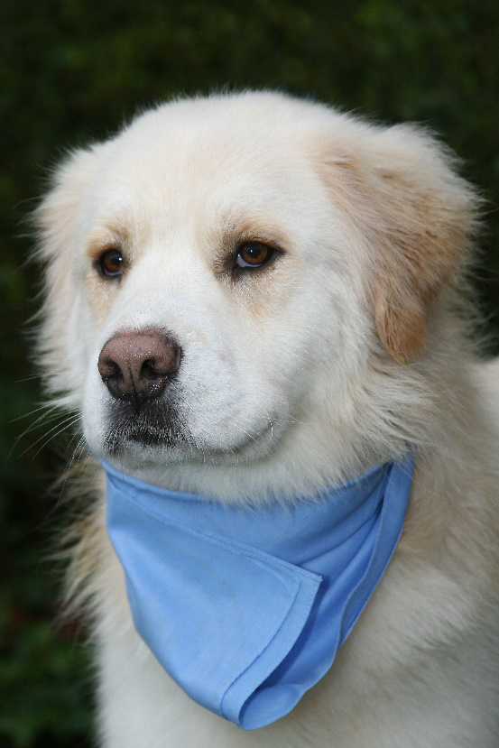 Henry – Courtesy Post for Adopt a Golden Atlanta